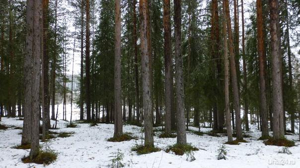 Почему весной появляются лунки около деревьев? А вот почему: снег - белый, фотонов не поглощает, поэтому он почти не нагревается солнечными лучами. А стволы деревьев часто бывают тёмными и чёрными. Они нагреваются хорошо. И вокруг этих нагретых стволов тает снег, как около печек. Точно так же образуются проталинки весной вокруг шишек и веток, упавших на снег. Вокруг пеньков и камней тоже лунки. Вот чему воробьи радуются: солнце долго хозяйничает в небе, успевает нагреть стволы и ветки деревьев. А они на тёплых веточках сидят, отогревают промерзшие за зиму лапки и кричат во всё горло: весна идёт!                        Р.S.Солнечные лучи - это свет, а свет - это фотоны, которые летят к нам от Солнца.Данные взяты из Интернета. Природа Ухты и Коми Ухта