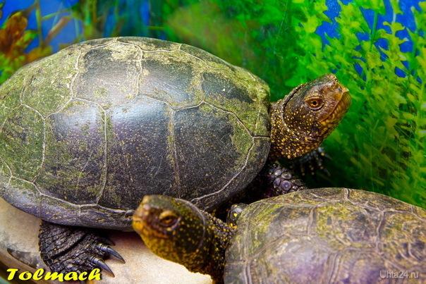 Черепахи 2 шт. Природа Ухты и Коми Ухта