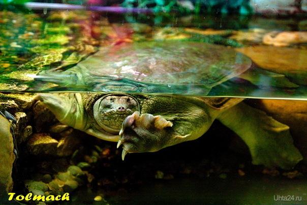 Черепаха 1 шт. Природа Ухты и Коми Ухта