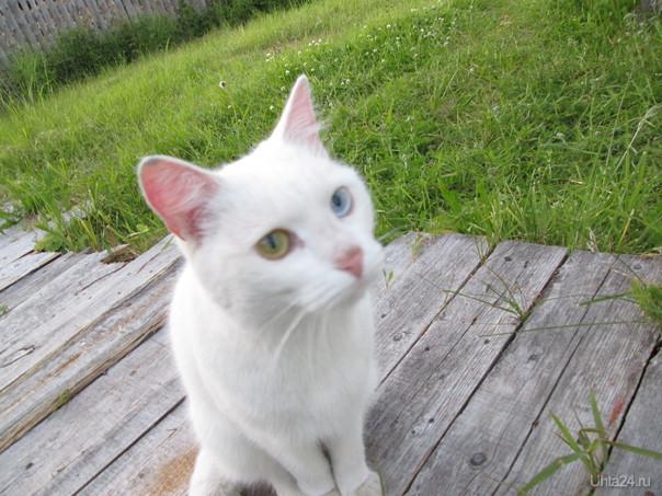 Котэ с разноцветными глазами  Ухта