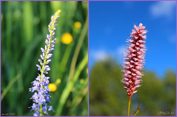 Цветы на поле Природа Ухты и Коми Ухта