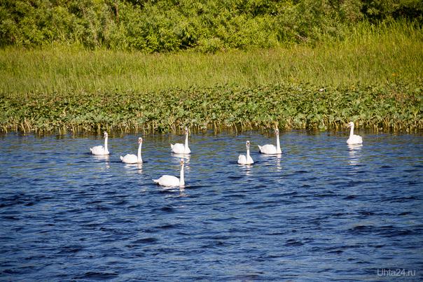 Лебеди на Ухте Природа Ухты и Коми Ухта