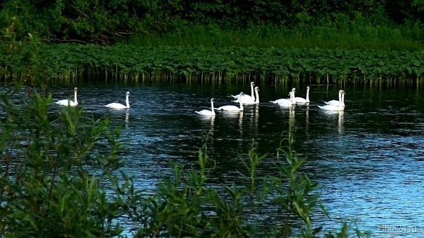 Лебеди на реке Ухта  Ухта