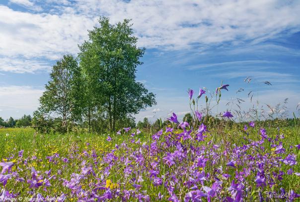 Колокольчиковое лето :)  (Поля в окрестностях 3-х водненских дач).  Ухта