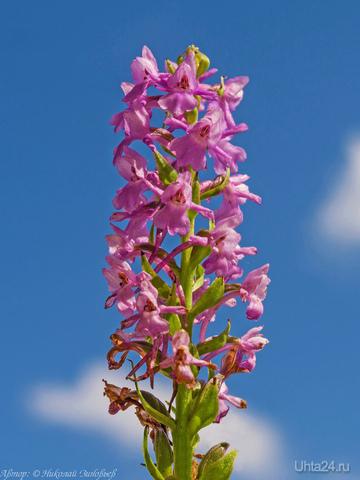 Сегодня в окрестностях Ухты мне первый раз попалось очень редкое интересное растение - северная орхидея Gymnadenia conopsea. Мелкие цветы - типичные орхидеи сиреневатого цвета, собраны в колос и издают сильный аромат сирени. На весь луг встретил только одно такое растение. Данный вид подлежит охране.    Ухта