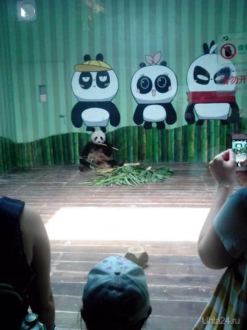 панда-мама)) родила сразу троих малышей)) Весь город праздновал это событие)) Даже мультик создали))  Ухта