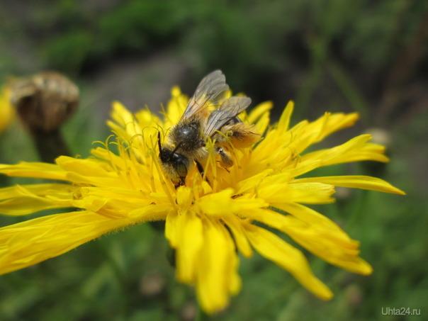 Пчела  Ухта