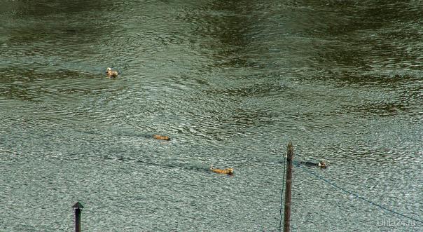Семейный заплыв. А говорят, что лето холодное Питомцы Ухта
