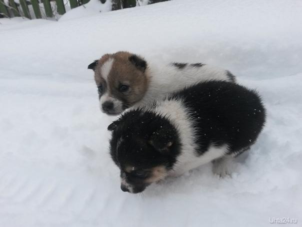 Сегодня на дачах два щеночка с ладошку размером вышли на дорогу, такие хорошенькие!!!! Питомцы Ухта