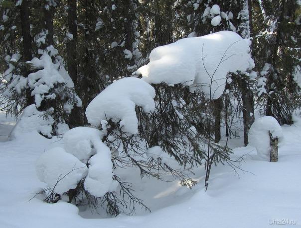 Утро в еловом лесу или три медведя (снежные фантазии) Природа Ухты и Коми Ухта