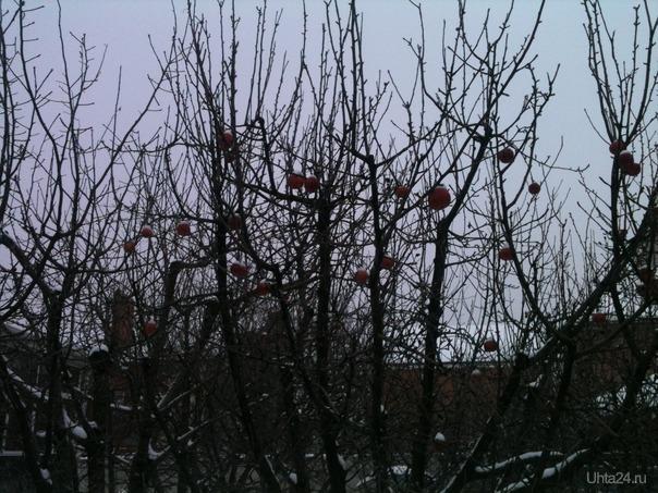 Рождественские яблоки Ростовские. Разное Ухта
