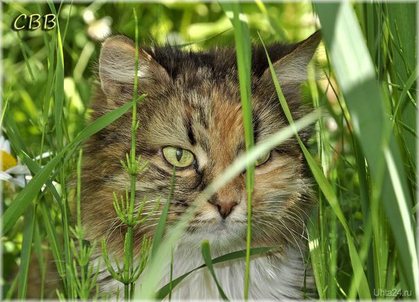 Кошка-долгожительница Муся, 19 лет. Питомцы Ухта