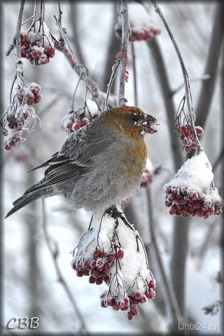 Птичка. Мороз -32. Ухта 2014г. Природа Ухты и Коми Ухта