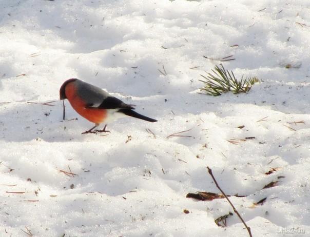Снегирь в апрельском лесу Природа Ухты и Коми Ухта
