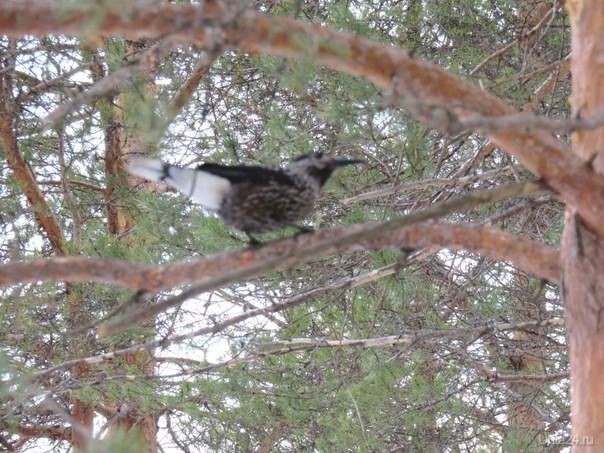 Кедровка, или ореховка-небольшая птица, чуть меньше галки и с более тонким и длинным клювом. Длина кедровки 30 сантиметров, хвоста 11 сантиметров. Вес 125—190 грамм. Окрашена в тёмный коричневато-бурый цвет с белыми пятнами, которых нет только на верхней стороне головы. На конце хвоста светлая кайма.Осенью 2013 года в сибирском городе Томске, окружённом кедровыми лесами, впервые в мире был открыт памятник этой птице.(Данные взяты из интернета).Сегодня впервые увидела такую птицу в лесу в поселке Шуда-яг.Много интересного узнала о ней.Быстро она улетела,спешила наверно  найти кедр. Природа Ухты и Коми Ухта