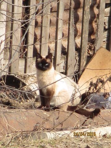 Красивая (не моя)кошка  Ухта
