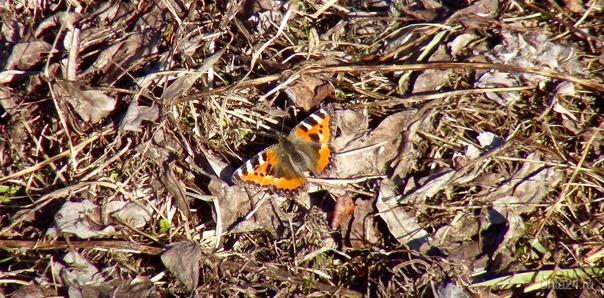 А бабочка летела и не знала, Что она чудо на земле родной, Ведь это правда, просто чудо -  Первую бабочку увидеть весной.. /стихи из инета/  Ухта
