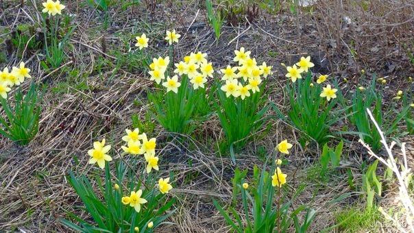 Расцвели нарциссы во дворе нашего дома. Спасибо людям, которые посадили эти цветы.😊 Природа Ухты и Коми Ухта