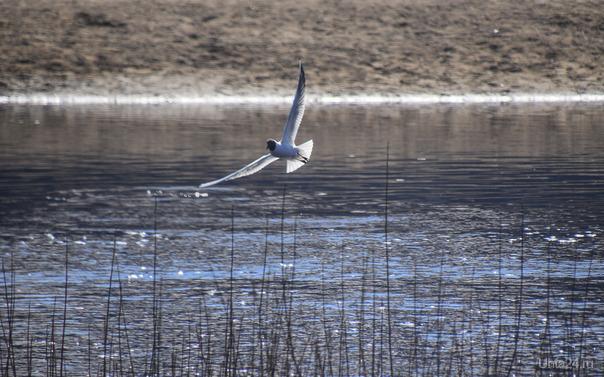 Чайки прилетели  Ухта