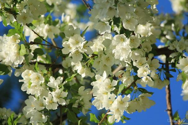 яблоня в цвету Природа Ухты и Коми Ухта