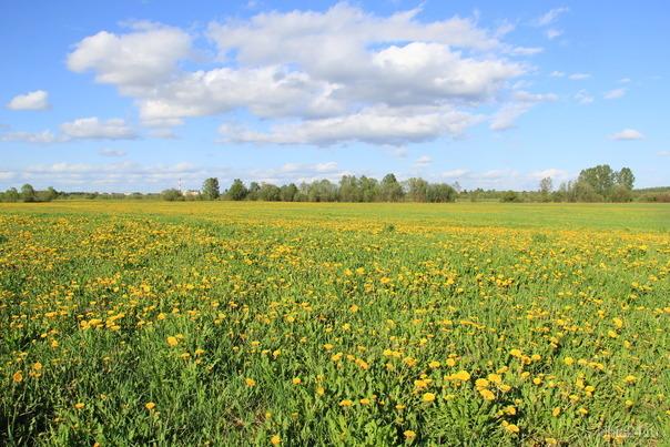 Одуванчиковое поле  Ухта