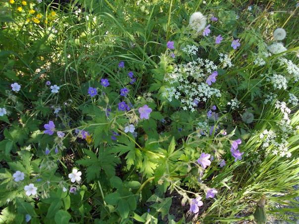 Цветение трав в июне Природа Ухты и Коми Ухта