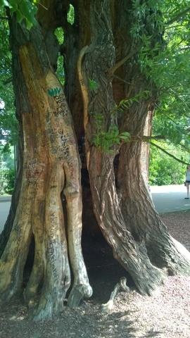 Вот такое почти полое внутри дерево растет в Парке КИО им.Горького. Разное Ухта