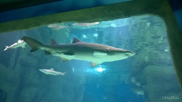 Акула-каракула Разное Ухта