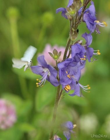 Бабочка Природа Ухты и Коми Ухта
