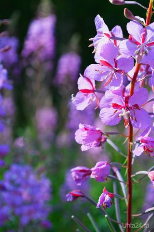 На полянке невзначай  раскраснелся иван-чай:  «Мой пурпурный цвет, друзья,  обойти никак нельзя!..»  Всем он кланялся любезно:  «Чай душистый пить полезно!»  Ухта