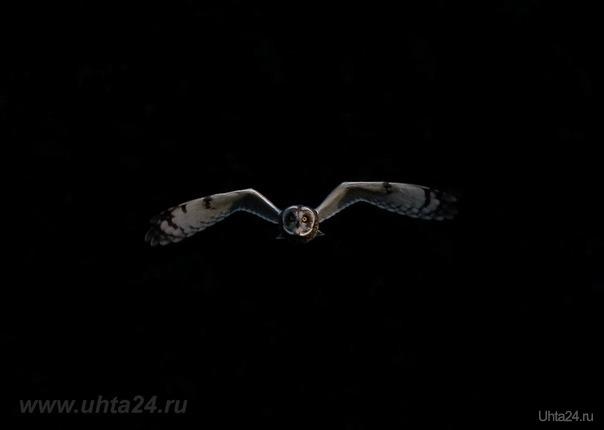 2016г. Сфотографированный с большим зумом, полёт болотной совы, над ухтинскими полями, в поисках мышей полёвок, на фоне тени деревьев.  Ухта