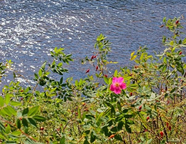 Аномальное явление. Повторное цветение шиповника на берегу Ухты.  Ухта