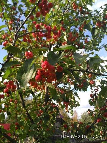 В этом году вот такой урожай яблок на даче Природа Ухты и Коми Ухта