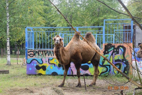 Верблюды в парке КиО Питомцы Ухта