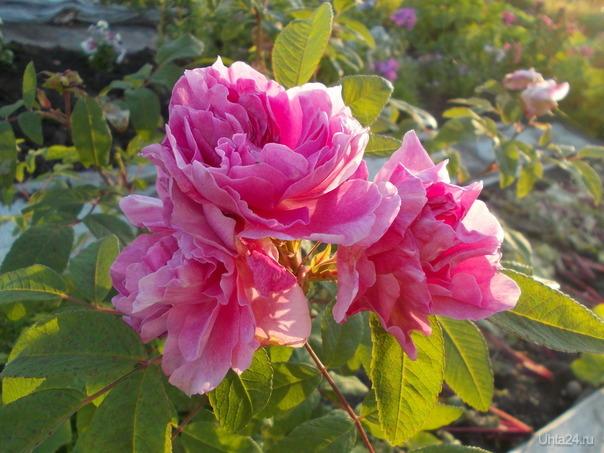 Простенькая роза. Но только про этот сорт (Тереза Бюгнет) написано, что не вымерзает никогда.Цветет все лето, с запахом,шипов мало.   Ухта