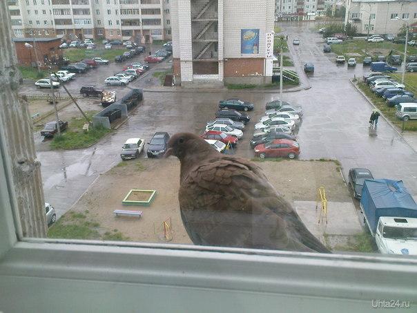Просто голубь Улицы города Ухта