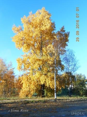 золотой тополь  Ухта