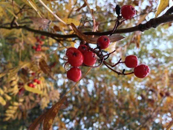 Осень, рябина. Природа Ухты и Коми Ухта