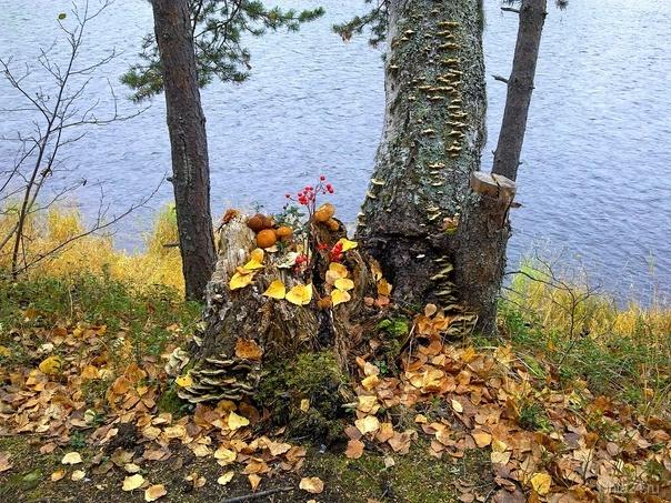 Последние дары осени.  На пне - кучка моховиков. Снято на берегу Ухты.  Ухта