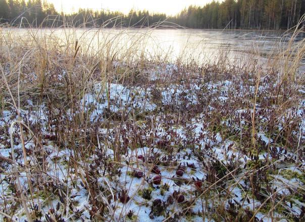 кто не успел клюквы пособирать,ещё можно,да и весной можно будет Природа Ухты и Коми Ухта