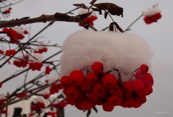 Мерзлая рябина в снегу.  Ухта