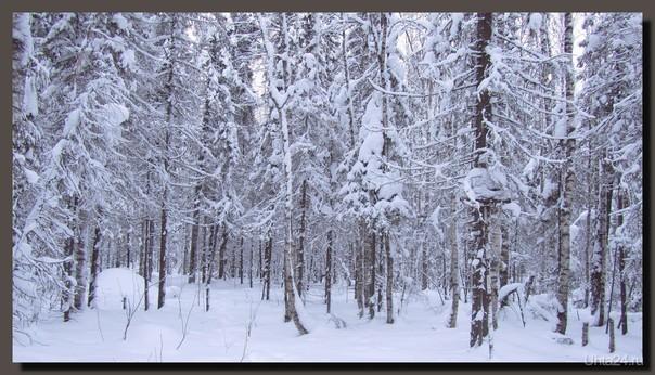 Январский лес  Ухта