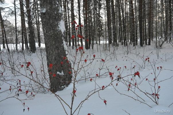 Возле Горнонефтяного колледжа ягоды шиповника  Ухта