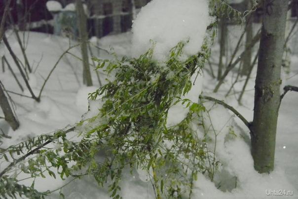 Растение забыло что надо листья на зиму скидывать (28.01.17) Природа Ухты и Коми Ухта