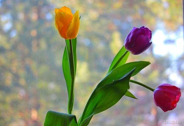 Весенние тюльпаны Разное Ухта