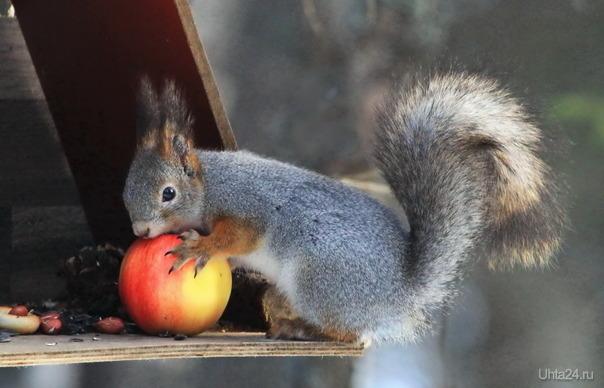 Белка с яблоком Природа Ухты и Коми Ухта