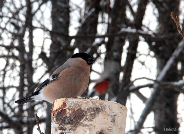 Снегириха Природа Ухты и Коми Ухта
