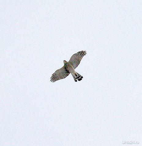 Какая-то хищная птица Природа Ухты и Коми Ухта