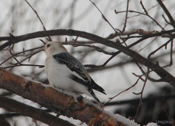 Снежный подорожник - эти птички приносят на Север весну Природа Ухты и Коми Ухта