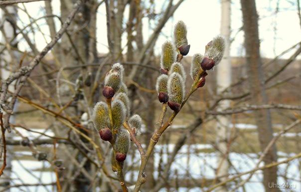 Весна вступает в свои права. Светит солнце, небо голубое. Мать-и-мачеха цветет, верба распускается. Через 2 недели лето, одуванчики расцветут, бабочки и шмели будут летать. 😊 Люблю север за скромную и неброскую красоту природы.  Ухта